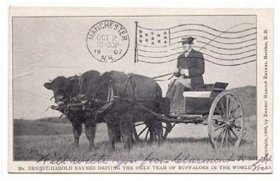 Ernest Harold Baynes Driving the Only Team of Buffaloes in the World