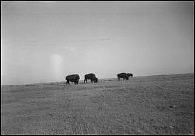 1939 4 Buffalo Grazing Erath co by Steve Casey Erath Co