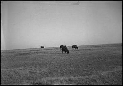 1939 5 Buffalo Grazing Erath co by Steve Casey Erath Co