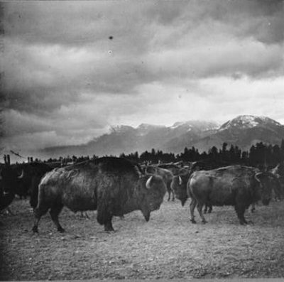 A fine pair in the world's finest buffalo herd 1909