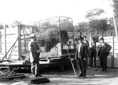 American Bison Being shipped from the Bronx Zoo to Wichita - WCS Oct 1907