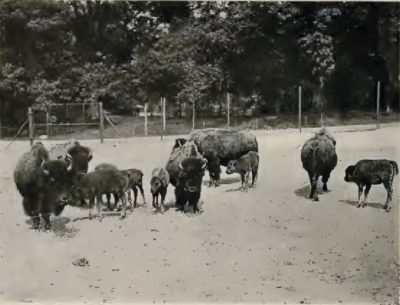 American Bison Calves Born in 1907