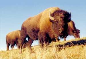 American Bison bull at Snowdon Farm