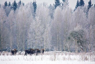 Bison in Winter Bialowieza Wild Poland