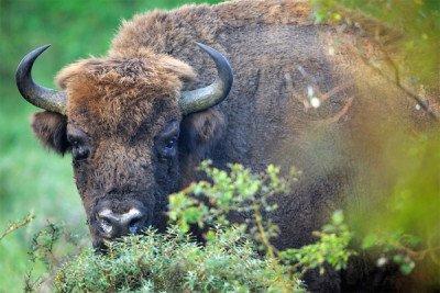 Bison in Zuid-Kennemerland National Park pic by Staffan Widstrand Rewilding Europe