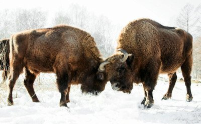 Bison sparring in Russia