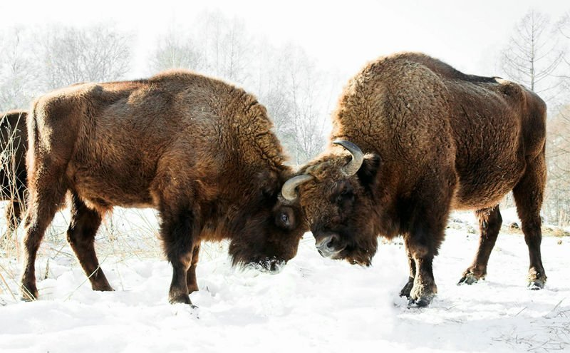Russia All About Bison