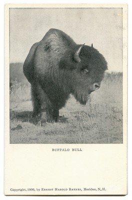 Buffalo Bull 1906 by Everett Harold Baynes, NH