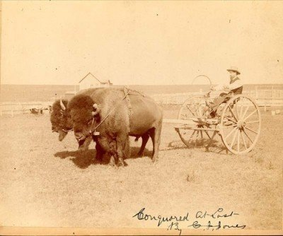 1893 Buffalo Jones with two hitched