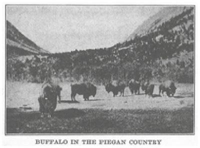 Buffalo in Piegan Country