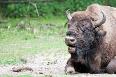 Captive bison in Germany Photo by Marcus Woelfle