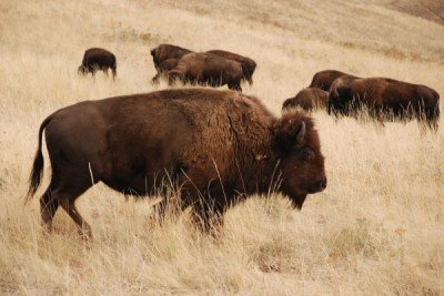 Cherokee Nation plans to aquire bison