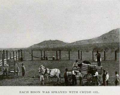 Each Bison Was Sprayed With Crude Oil