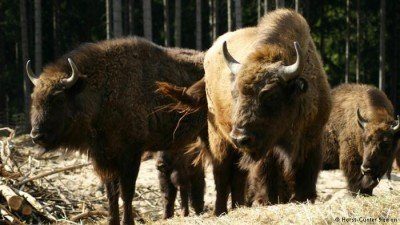 Bison rangers in Bad Berleburg don't yet have permission to release these animals