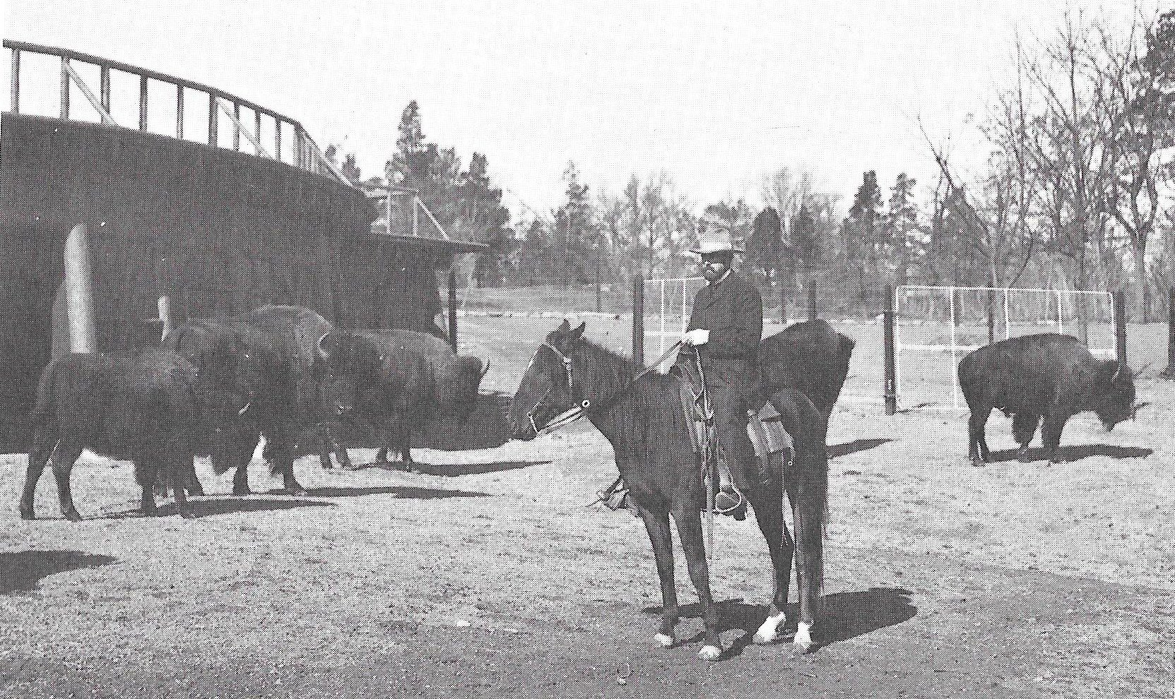 William T. Hornaday checking bison