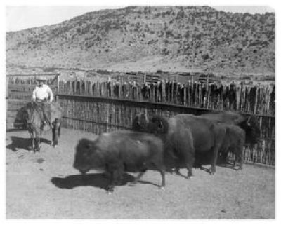 John Lane sitting on a horse next to five buffalo in a corral.