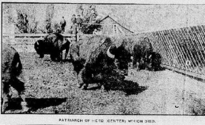 Patriarch of the Herd (center) Which Died