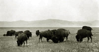 Northern Montana Bison. Photo by L. A. Huffman, 1880