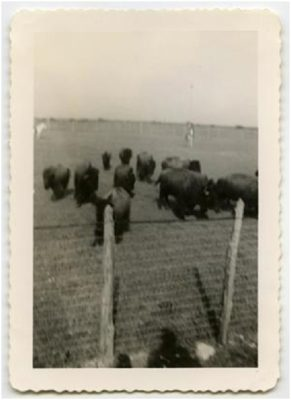 Photo of buffalo behind a fence at Double Heart Ranch in Sweetwater Texas 1944