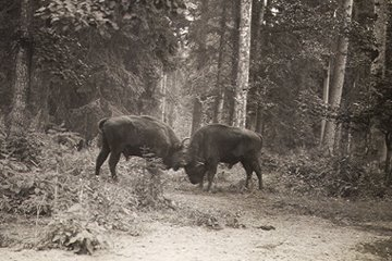 Photo of two bison in Białowieża Forest from 1955 shortly after they were brought back Photo by Jan Jerzy Karpiński