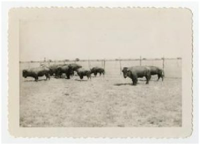 Photograph of a buffalo herd at Double Heart Ranch, Sweetwater Texas 1944