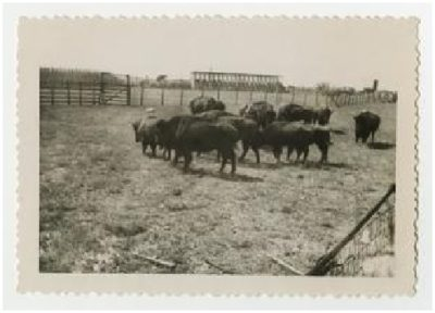 Photograph 2 of a buffalo herd at Double Heart Ranch, Sweetwater Texas 1944