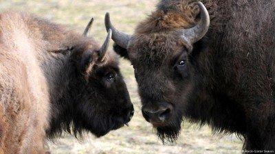 European Bison in North Rhine Westphalia