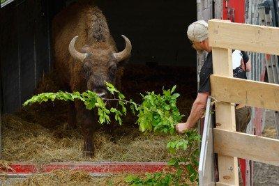 Rewilding Bison Romania