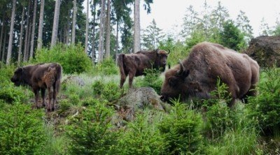 European bison in the Rothaargebirge, Germany