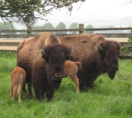 Steinbult Bison in Germany