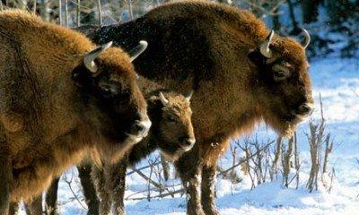 The Zubr or European bison