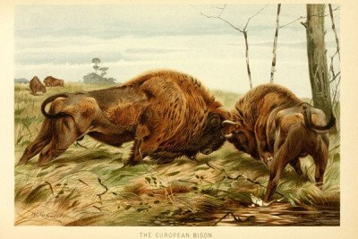 Painting of embattled European bison. Painting by: London, F. Warne, 1893-1896