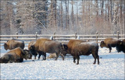 Wolves are threatening a unique population of Canadian bison in Siberia
