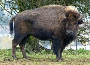 England's American Bison