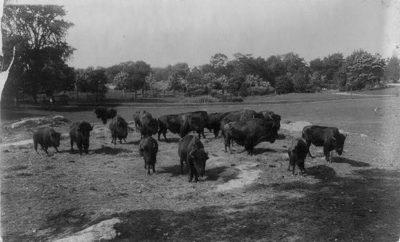 1900 Bison Grazing