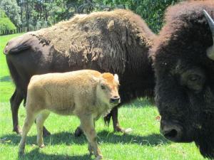 Bison Calf at Hamilton Zoo