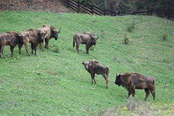 Scotland Bison Herd