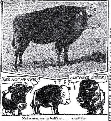 Catalo Beefalo Ogden Standard 1930