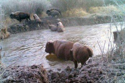 Sturgeon River Bison