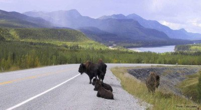 Wood Bison in NW Canada