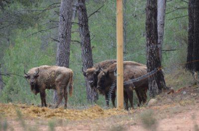 European Bison Release