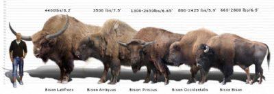 Ancient Bison Fauna