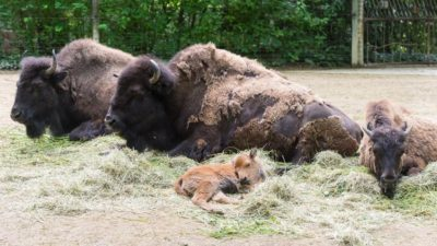 Bison picture from Basel Zoo