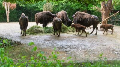 Switzerland Bison Herd @ Basel
