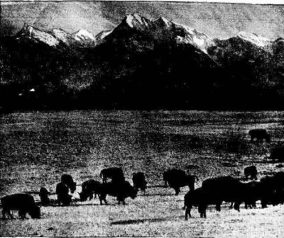 Charles Allard Herd on the Res. 1899