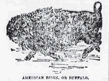 American Bison Aug 15 1891 The NY Sun