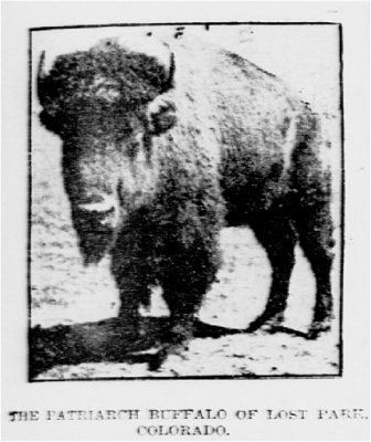 1902 Bull from Lost Park, Colorado