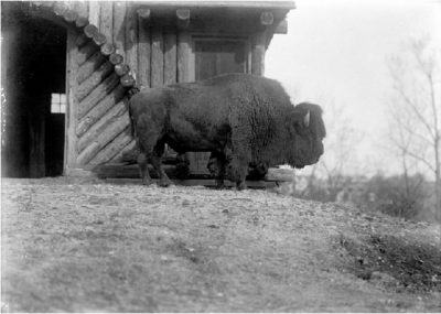 Bison Bull at National Zoological Park