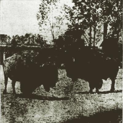 Two Bison Bulls Phili Zoo