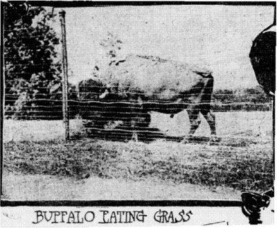 Buffalo Eating Grass at the Zoo